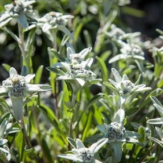 Edelweiss - Inning am Ammersee